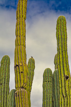 A Bird Sitting Atop A Cactus I...