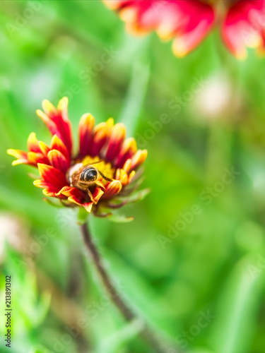 Photo  Bee pollinating a red and yellow flower blanket flower, Gaillardia pulchella, on