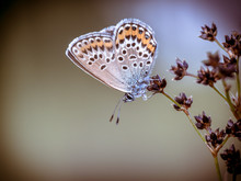 Female Silver Studded Blue But...