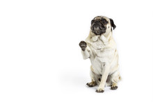 Begging Pug On White Background