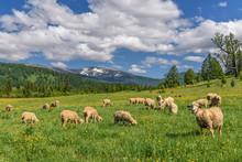 Sheep Meadow Flowers Mountains Graze