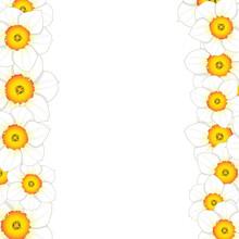 White Daffodil - Narcissus Flower Border