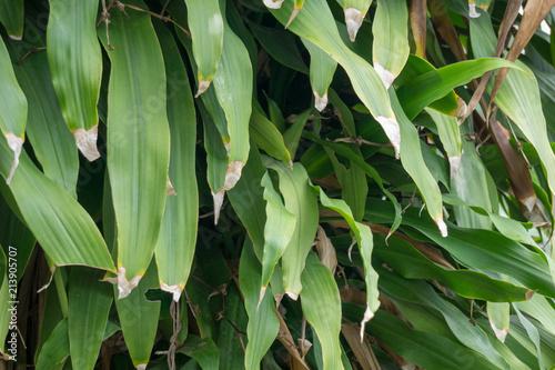 Vászonkép Leaves of Dracaena fragrans or cornstalk dracaena or common name Cape of Good Hope or Dracaena