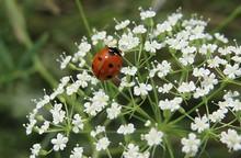 Ladybug On The White Plants