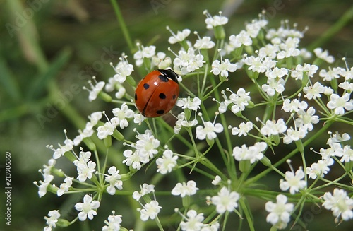 Ladybug on the white plants