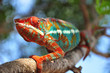 canvas print picture - chamaeleon furcifer pardalis