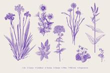 Set Garden Flowers. Vintage Classical Botanical Illustration. Ultraviolet