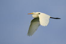 Image Of Great White Egret Fly...