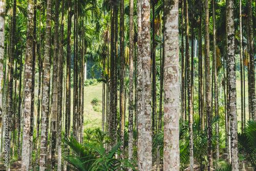 Garden Poster Birch Grove Betel palm in resort in thailand.