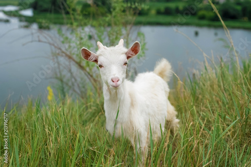 a little white goat on the nature; a young goat on the background of a river;  goat on the pasture in a beautiful place