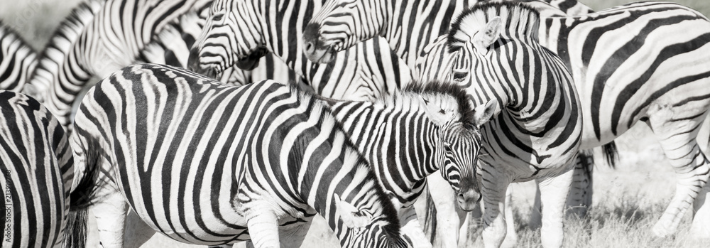 Fototapety, obrazy: Zebra herd oblong