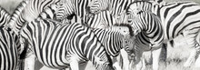 Zebra Herd Oblong