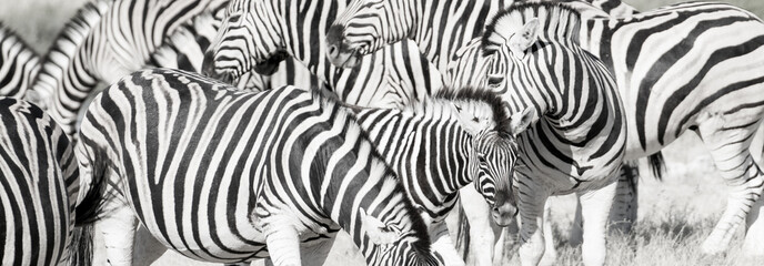 Fototapeta Zebry Zebra herd oblong