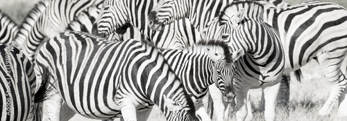 Photo sur Toile Zebra Zebra herd oblong