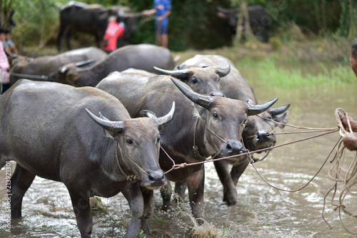 Staande foto Buffel Chonburi buffalo race festival CHONBURI, THAILAND - JULY 15, 2018: Farmer's Game Thailand