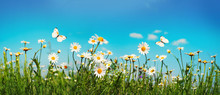 Chamomiles Daisies Macro In Summer Spring Field On Background Blue Sky With Sunshine And A Flying White Butterfly, Close-up Macro. Summer Landscape, Natura With Copy Space, Panoramic View.