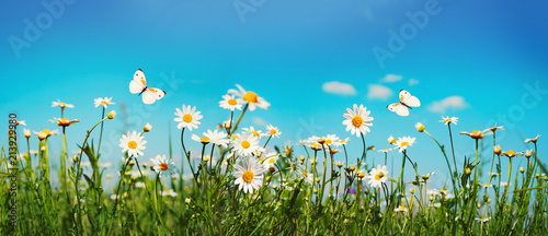 Marguerites Chamomiles daisies macro in summer spring field on background blue sky with sunshine and a flying white butterfly, close-up macro. Summer landscape, natura with copy space, panoramic view.