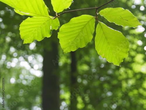 Buchenlaub im sonnigen Wald