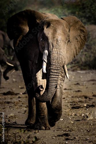 Fototapeta Elefant (Bulle) im Krüger National Park, Südafrika obraz na płótnie