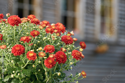 Red chrysanthemum flowers in front of windows of a country house