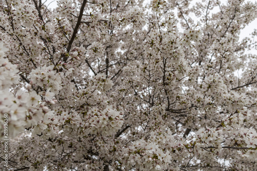 Stampa su Tela  Blossoming almond trees