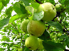 Fruit Of An Apple Tree On A Br...