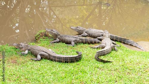 Foto op Plexiglas Krokodil Crocodiles Waiting Their Prey