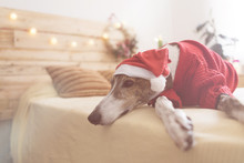 Greyhound Lying On Bed Wearing...