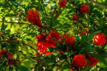 Flowering Of Pomegranate