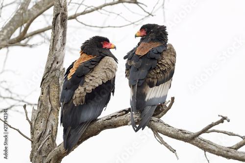 Bateleur Eagle (Terathopius ecaudatus) pair, Kruger National Park, South Africa
