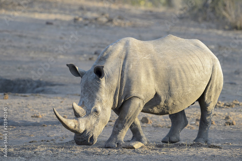 Fotobehang Neushoorn White rhinoceros (Ceratotherium simun), standing at whaterhole at sunset, Kruger National Park, South Africa