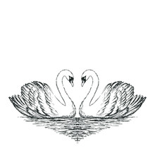 Two Swans Sketch. Hand Drawn V...
