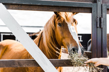 Cropped Image Of Farmer Feeding Brown Horse With Hay In Stable
