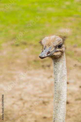 Staande foto Struisvogel Ostrich bird head and neck front portrait in the park
