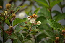 Buttonbush And Butterfly