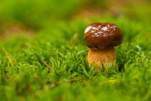 Small Brown Mushroom Wet From ...