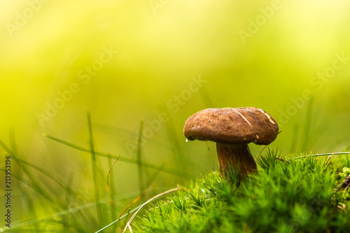 Fototapeta Small brown mushroom in moss on vivid green background. Wet from morning dew or rain.  Amazing natural scene. Macro and detailed photo. obraz