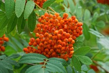 Red Berries Of Mountain Ash On...