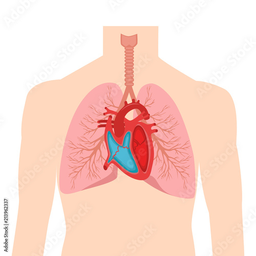 Heart And Lungs  Internal Organs In A Male Human Body  Anatomy Of People Part Of The Human Heart