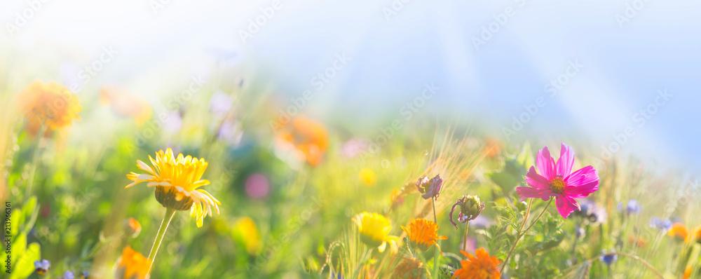 Fototapety, obrazy: Bunte Wiese mit Wildblumen -  Sommer  -  Banner  -  Panorama