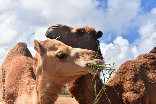 Beautiful Pair of Camels Snuggling While Snacking on Hay