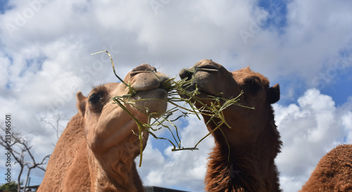 Adorable Pair of Camels Eating Clusters of Hay