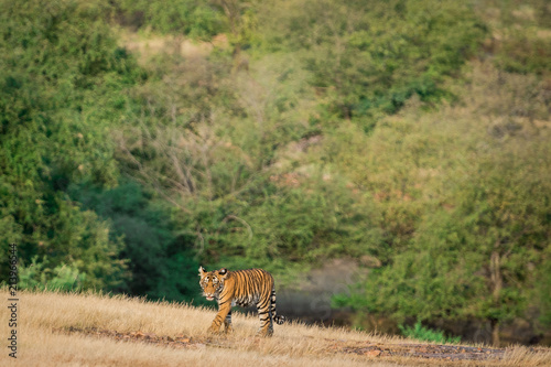 A cat attitude, tiger cub roaming around in her mother