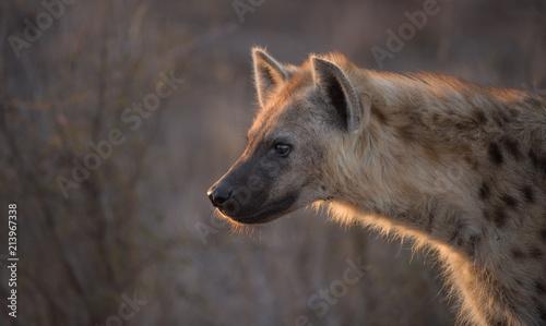 Hyène Spotted Hyena