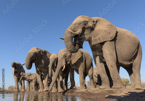 Foto op Canvas Olifant Drinking Elephant Herd