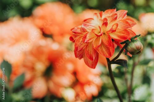 Beautiful orange dahlia flower blossoming in the garden