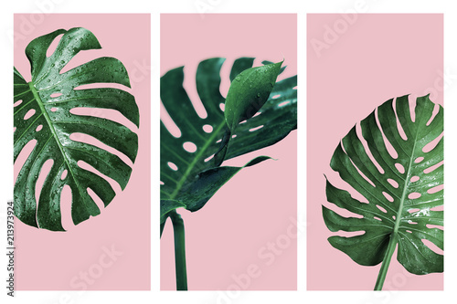 Monstera deliciosa or swiss cheese plant tropical leaves and water drop isolated Canvas Print