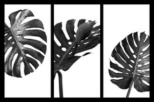 Monstera Deliciosa Or Swiss Cheese Plant Tropical Leaves And Water Drop Black And White Style