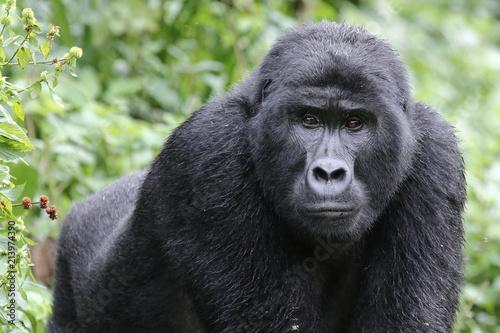 Obraz na plátně  Uganda gorilla