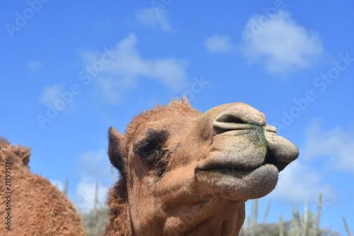Foto op Aluminium Kameel Close Up Look Into the Face of a Camel